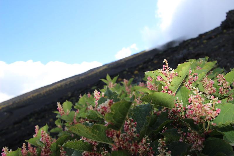 富士登山 下山 お花