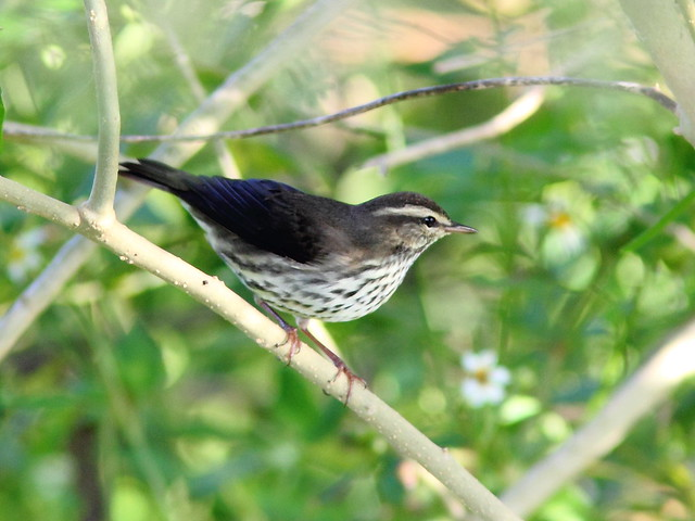 Northern Waterthrush 4-20121005