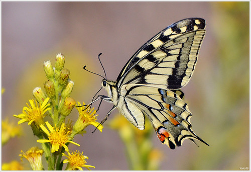 Cauda de andorinha - Swallowtail - Papilio machaon