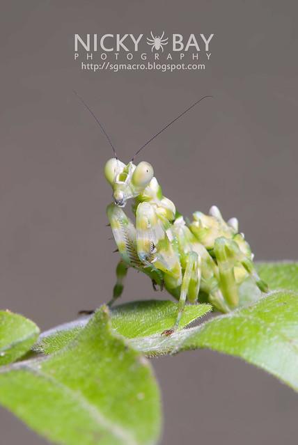 Banded Flower Mantis (Theopropus elegans) - DSC_3606