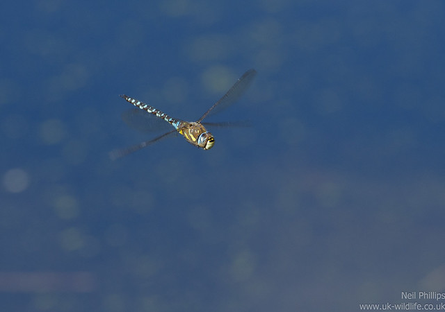 Migrant hawker dragonfly Aeshna mixta in flight