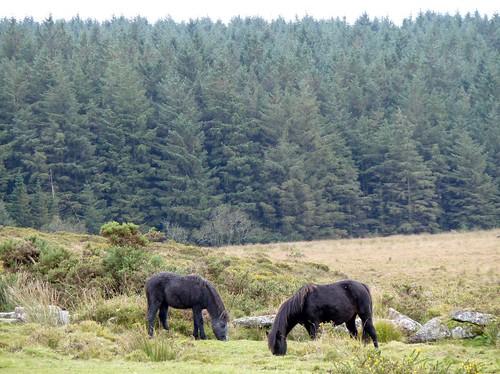 Dartmoor Ponies,Cornwall