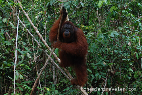 orangutan at Tanjung Putting National Park Indonesia (6)