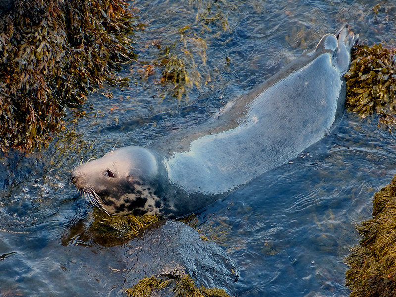28852 - Grey Seal, Strumble Head