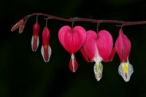 Bleeding Hearts - Always A Favorite Of Mine