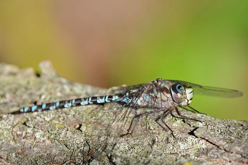 Dragonfly - Canada Darner?