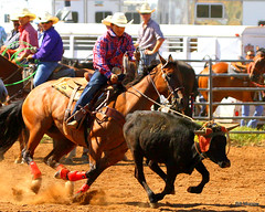 animal sports, rodeo, cattle-like mammal, western riding, team penning, bull, event, equestrian sport, tradition, sports, charreada,