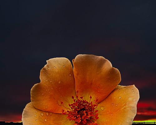 orange flower sunrise dawn petals glow goodmorning