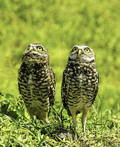Burrowing Owls - Things Are Looking Up!