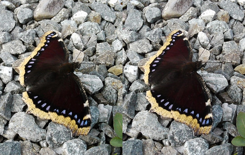 Nymphalis antiopa, stereo parallel view