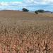 Corn field - Siembra de maíz; cerca de San Pedro Topiltepec, al suroeste de Santiago Tilla (Región Mixteca), Oaxaca, Mexico por Lon&Queta
