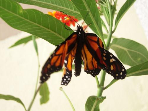 20120908 17 mariposa