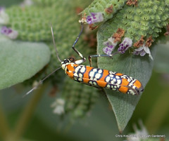 Atteva aurea, Ailanthus Webworm Moth, on Pycnanthemum, Mountain-Mint