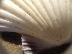 sea snail(0.0), flower(0.0), seafood(0.0), invertebrate(0.0), food(0.0), conch(0.0), white(1.0), macro photography(1.0), seashell(1.0), close-up(1.0), cockle(1.0),