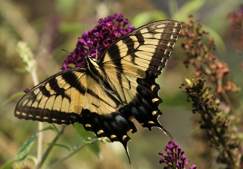 3946 Eastern Tiger Swallowtail