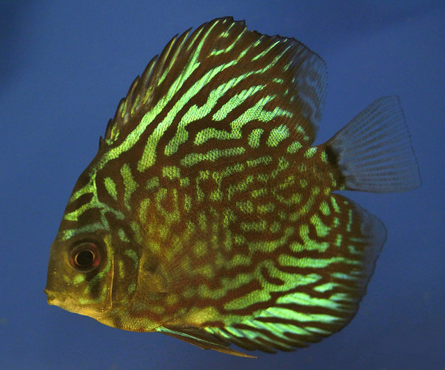 Green discus fish Flickr - Photo Sharing!