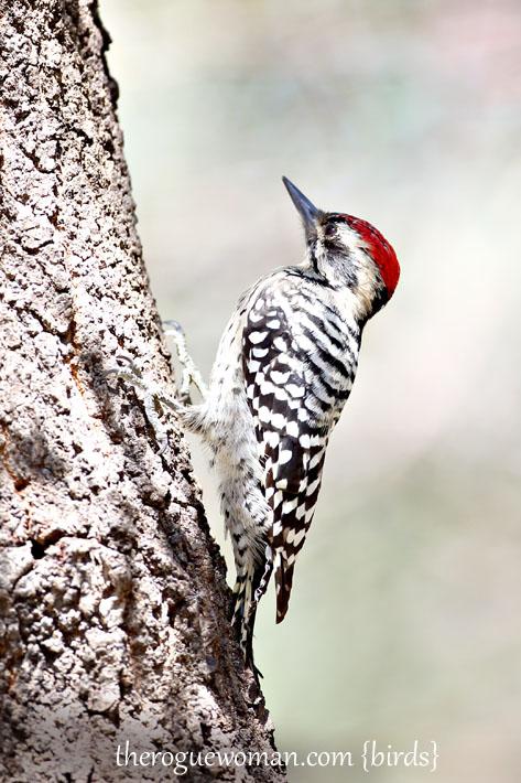 090112_05_bird_wood_ladderBackedWoodpecker03