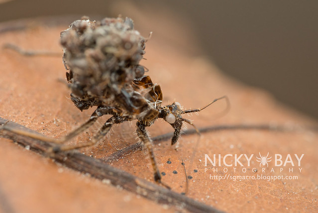 Assassin Bug Molt (Reduviidae) - DSC_5183