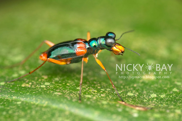 Tiger Beetle (Therates dimidiatus?) - DSC_2663