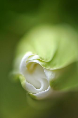 macro art garden singapore thegalaxy gardeniaflower gardeniajasminoidesplena