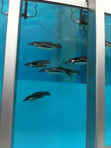 新しいペンギン水槽