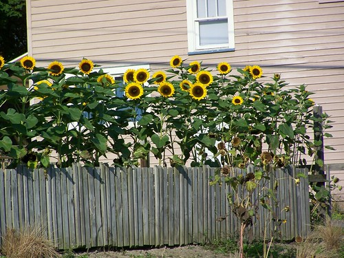 sunflowers greet the morning by Emilyannamarie