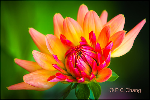 pink dahlia autumn red summer orange usa flower green fall beautiful oregon canon garden eos flora zoom blossom young cream september telephoto bloom 2012 recreational firepot thegalaxy 70mm200mm canon60d excellentsflowers pcchang flickrstruereflectionlevel1 rememberthatmomentlevel1 rememberthatmomentlevel2 rememberthatmomentlevel3