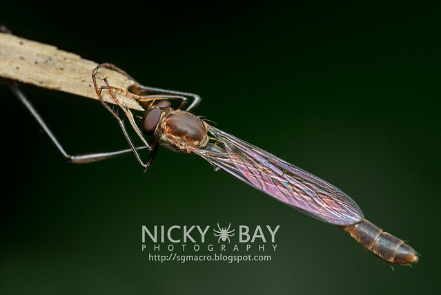 Robberfly (Asilidae) - DSC_5855