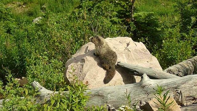 4-marmot