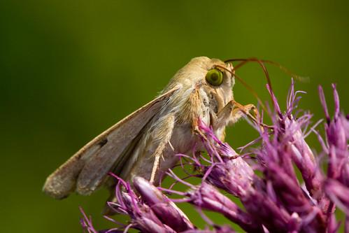 macro nature closeup insect moth lepidoptera tamron owlet southfordfalls tamron180mm cornearwormmoth