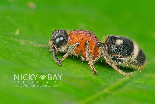 Velvet Ant (Mutillidae) - DSC_9913