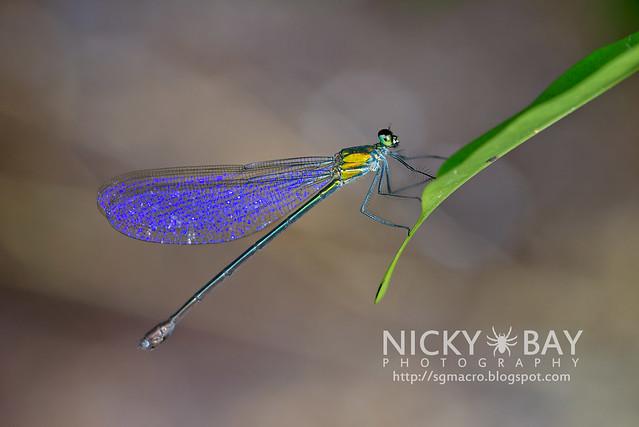 Common Flashwing (Vestalis amethystina) - DSC_9844