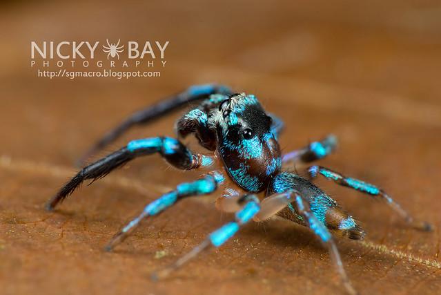 Fighting Spider (Thiania bhamoensis) - DSC_9551