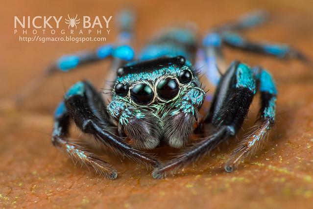 Fighting Spider (Thiania bhamoensis) - DSC_9515