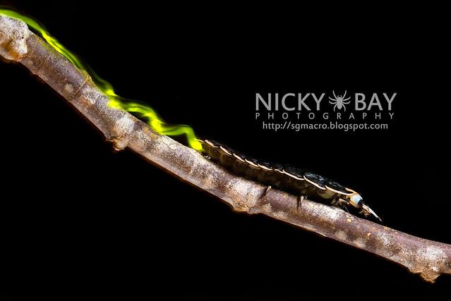 Firefly larva (Lampyridae) - DSC_9320