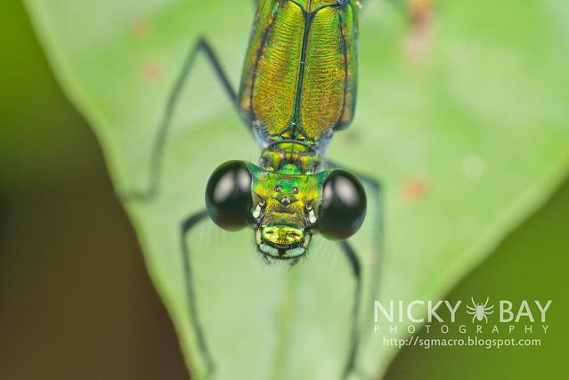 Damselfly (Zygoptera) - DSC_9192