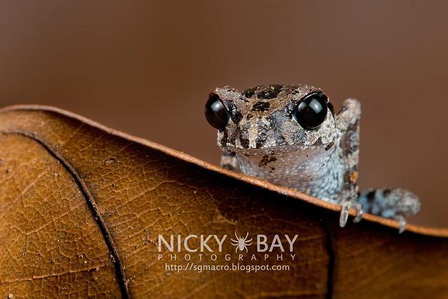 Black-eyed Litter Frog (Leptobrachium nigrops) - DSC_8603
