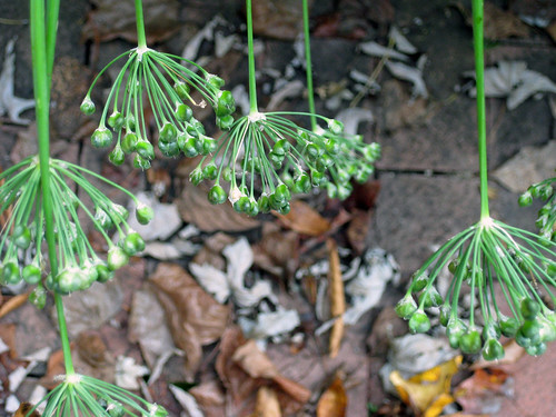 chives and leaves