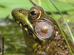 The Water Garden Frog, and his wonderful ears!