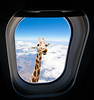 Giraffe looking through airplane window Pssst... hey you,