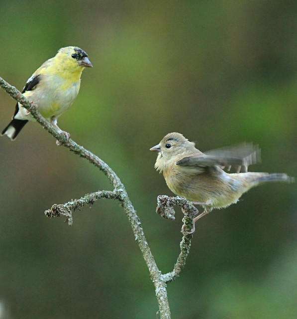 Last babies of the season- American Goldfinch | With fall ...