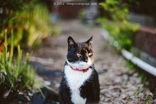 Rambo the Cat by twoguineapigs Pet Photography [2]