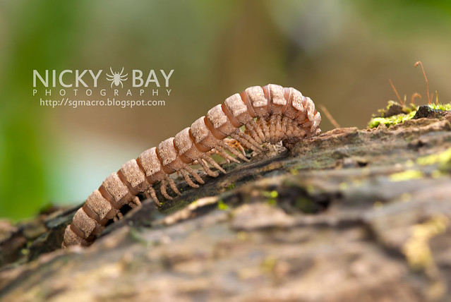Flat-backed Millipede (Platyrhacidae) - DSC_4415