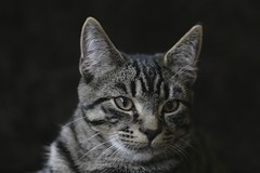 animal, small to medium-sized cats, mammal, european shorthair, fauna, american shorthair, close-up, egyptian mau, cat, wild cat, whiskers, black-and-white, domestic short-haired cat,