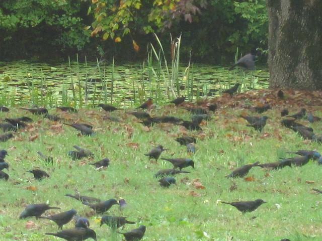 Cowbird Invasion
