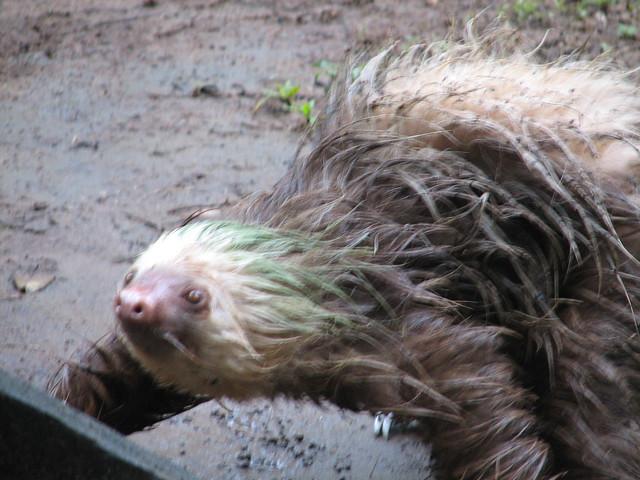 a sloth walking