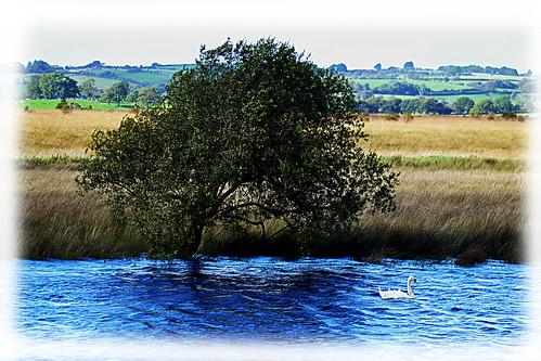 nature wales river landscape swan wildlife tregaron corscaron