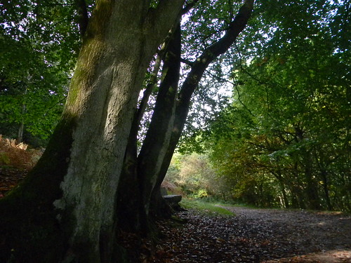 Stately tree, Nymans