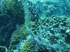 基翬漁港外的珊瑚礁覆蓋率還不錯,但遭廢棄漁網覆蓋,海洋健康狀況堪憂