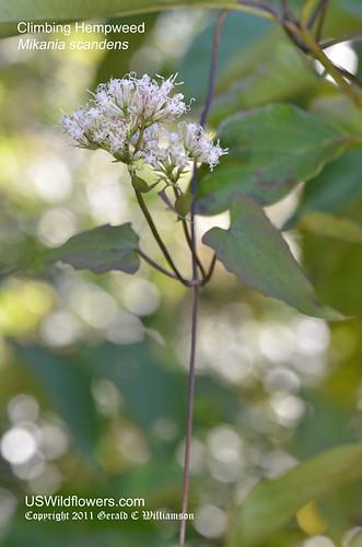 Climbing Hempweed - Mikania scandens